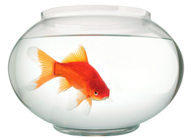 Goldfish swimming in bowl. Image shot 2004. Exact date unknown.