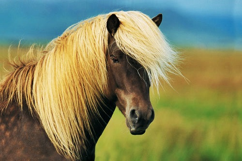 horsedetail_icelandic_01
