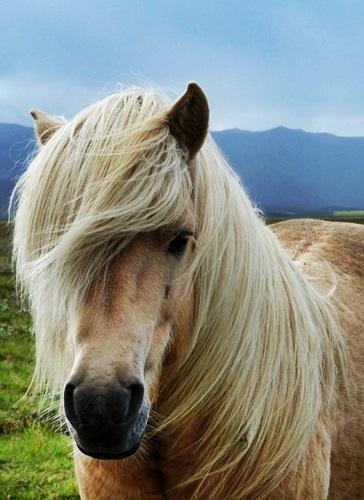 iceland_stock_01_horse_by_ghyselenbert-d51dk5y