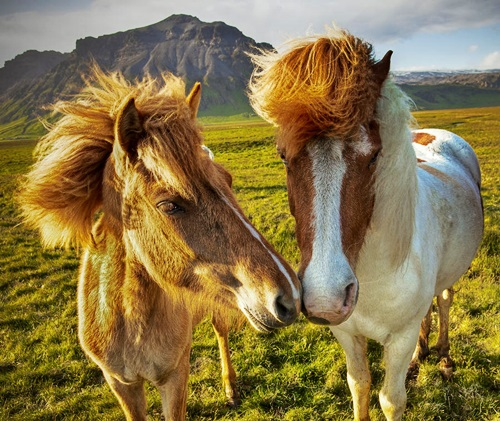 icelandic-horses-peter-oreilly